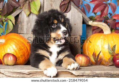 puppy Bernese mountain dog and pumpkin - stock photo