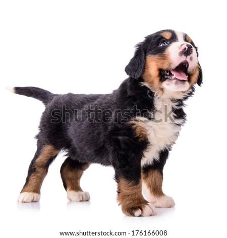 Puppy Bernese Mountain Dog newborn. animal isolated on white background - stock photo