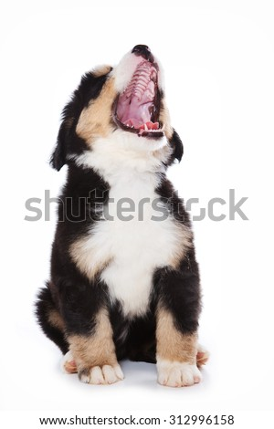 Puppy Bernese Mountain Dog sits and barks (isolated on white) - stock photo