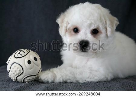 Puppy Bishon Frise - stock photo