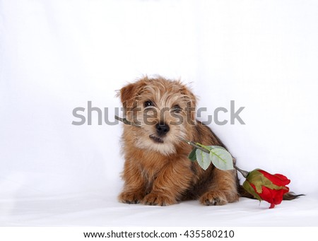 Puppy biting on a red artificial rose - stock photo