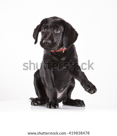 puppy black labrador on white background