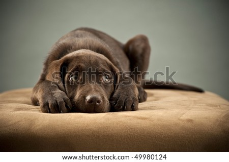 Puppy blocking its ears and looking up - stock photo