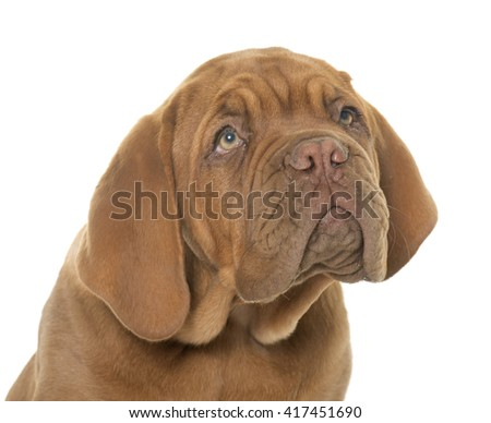 puppy Bordeaux mastiff in front of white background - stock photo