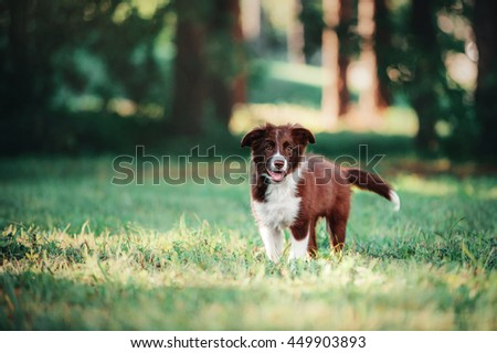 Puppy border collie walking in the forest