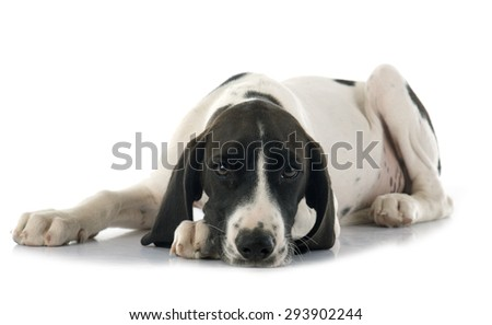 puppy Braque d'Auvergne in front of white background - stock photo
