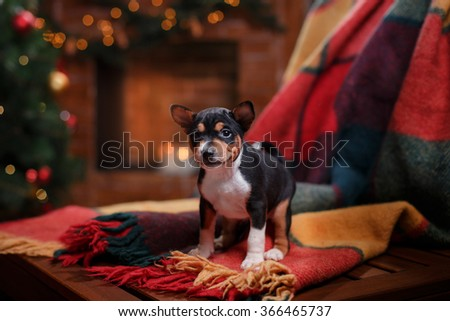 Puppy breed Basenji, Christmas and New Year,studio background