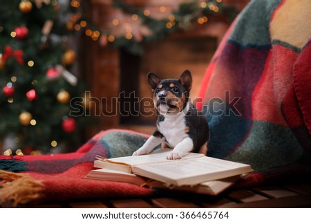 Puppy breed Basenji, Christmas and New Year,studio background - stock photo