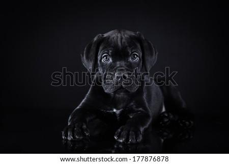 puppy breed Italian Cane Corso - stock photo