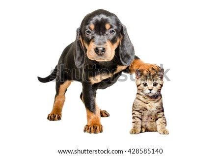 Puppy breed Slovakian Hound standing with paw on the head of a cat Scottish Straight, isolated on white background