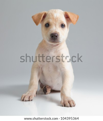 puppy brown dog on gray background - stock photo
