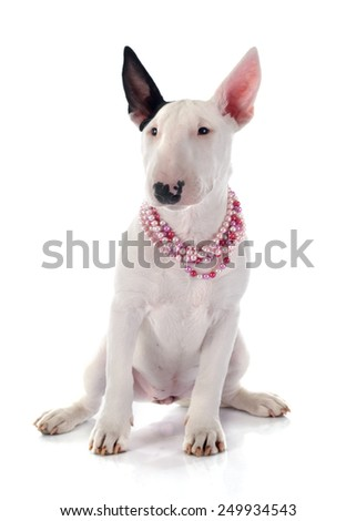 puppy bull terrier in front of white background