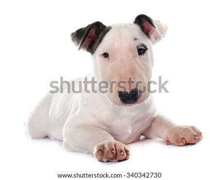 puppy bull terrier in front of white background - stock photo