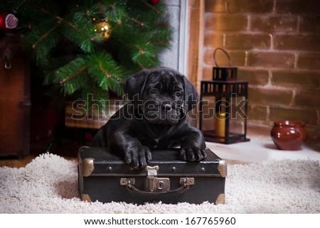 Puppy, Cane Corso breed, christmas - stock photo