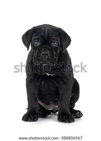 puppy Cane Corso on white background isolated.