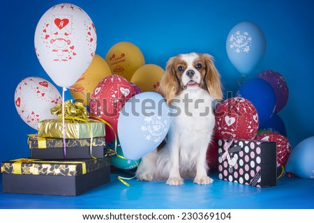 Puppy Cavalier King Charles Spaniel with balloons and gifts on blue isolated background - stock photo