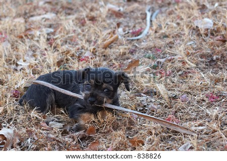 Puppy chewing on a dried stalk