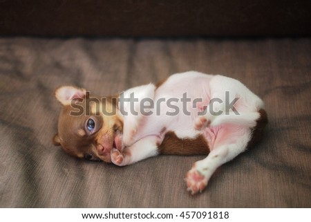 puppy chihuahua chocolate - stock photo