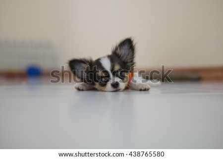 Puppy Chihuahua Dog with blurred background. Selective focus on eye. - stock photo