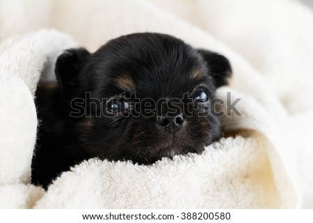 puppy chihuahua sleeping blanket white towel. - stock photo