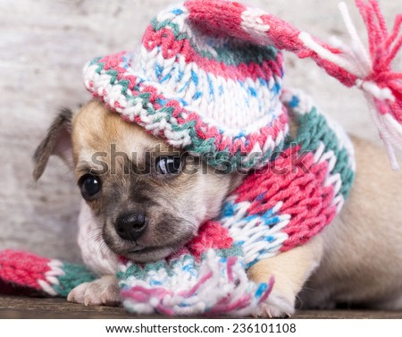 puppy chihuahua wearing a knit hat - stock photo