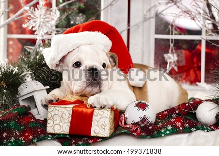 puppy christmas  Bulldog