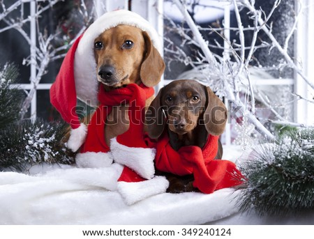 puppy christmas dachshund - stock photo