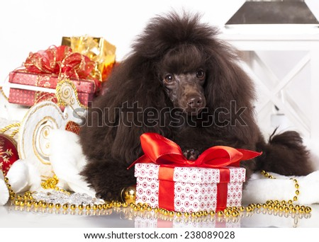 puppy christmas toy poodle - stock photo