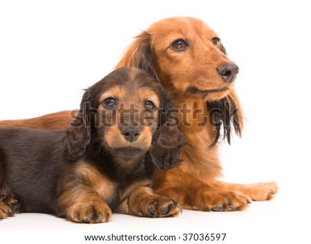 puppy dachshund and his mother dachshund