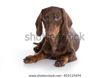 Puppy dachshund (isolated on white)