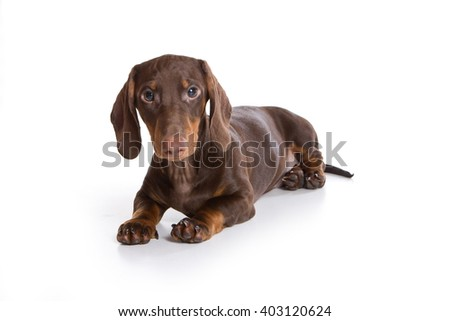 Puppy dachshund (isolated on white) - stock photo