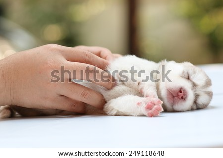 puppy dog born, puppy in hand, care and love, warming feeling, nature background.  - stock photo