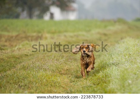 puppy dog cocker spaniel running to you
