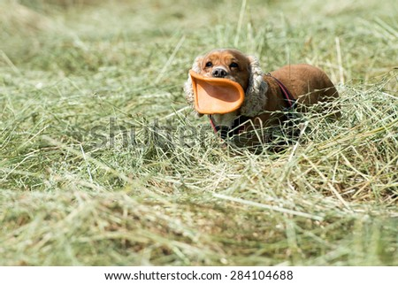puppy dog cocker spaniel running to you while holding a frisbee - stock photo