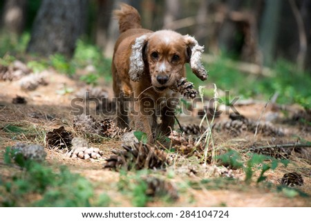 puppy dog cocker spaniel while holding a pine cone - stock photo