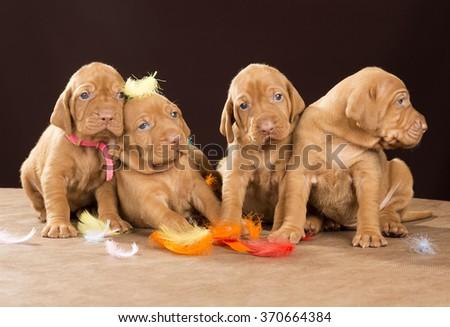 puppy dog Hungarian Vizsla - stock photo