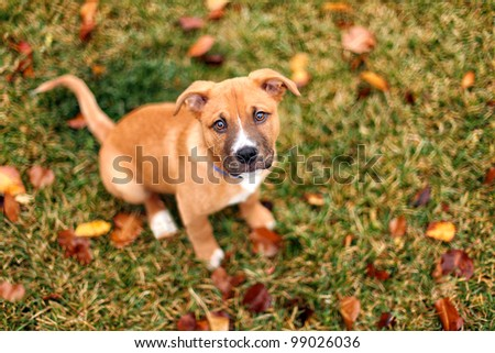 Puppy Dog in Fall Leaves Young Mixed Breed Rescue sits Outside Looking Up at Camera in Autumn