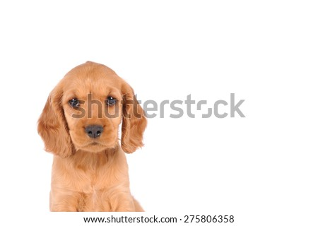 puppy dog isolated over white background - stock photo