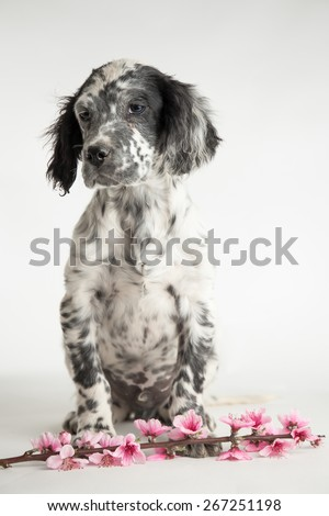 Puppy dog of setter celebrates spring with twig of peach and pink flowers - stock photo
