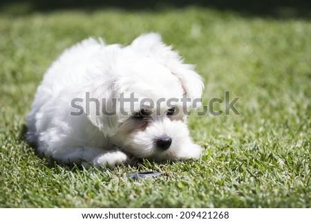 Puppy dog white maltese - stock photo