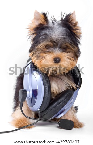 Puppy dogs York and headphones (isolated on white)
