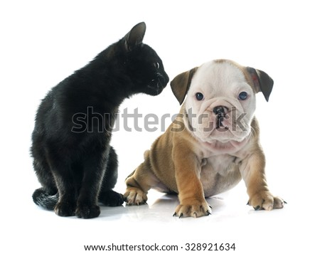 puppy english bulldog and kitten in front of white background