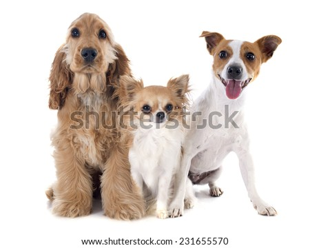 puppy english cocker, jack russel and chihuahua in a studio - stock photo