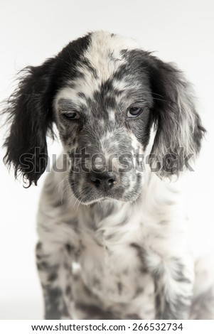 Puppy english setter with sad glance in close up studio portrait - stock photo