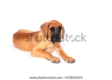 Puppy fawn Great Dane,German breed, in front of white background