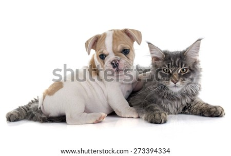 puppy french bulldog and maine coon cat in front of white background