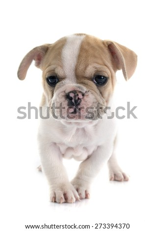 puppy french bulldog in front of white background - stock photo