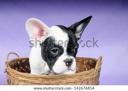Puppy French Bulldog on the stool