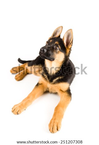 puppy german shepherd dog looking up on white background 2 - stock photo