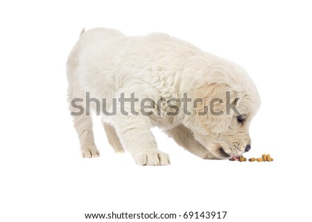 Puppy  Golden Retriever on isolated  white background - stock photo